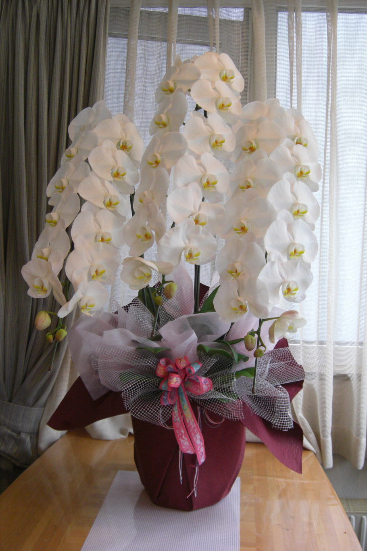 白い胡蝶蘭 生花